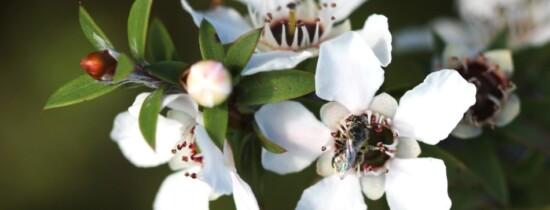 Mierea de manuka ar putea combate o ameninţare globală