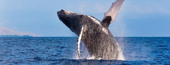 De ce au crescut balenele asa de mari?