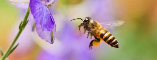Pesticidele pun în pericol albinele. Plantele nu mai pot fi polenizate