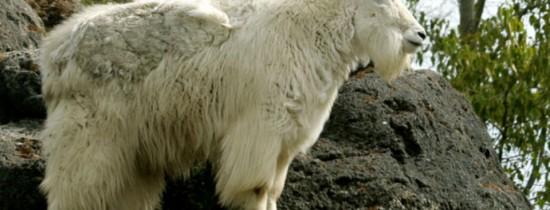 De ce capra de munte este un bun căţărător?