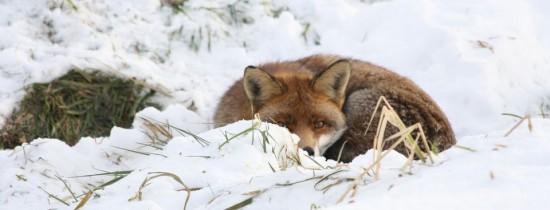 Scene COMICE în lumea animalelor. Ce a păţit o vulpe în timp ce a sărit în zăpadă după pradă – VIDEO