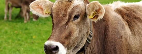 Bill Gates lucrează cu geneticieni pentru a crea ''vaca perfectă''