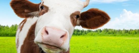 Ce se s-ar întâmpla dacă vacile ar dispărea de pe Pământ?