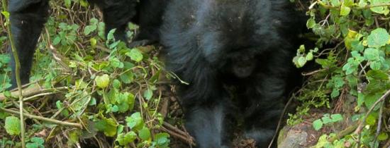 Gorilele tinere au învăţat să demonteze capcanele braconierilor din sălbăticie – VIDEO