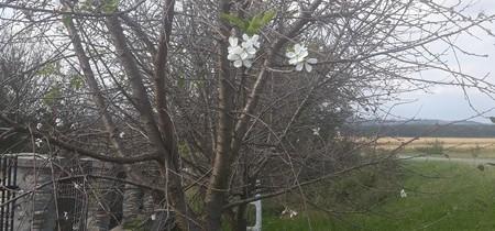 În judeţul Gorj, pomii au înflorit a două oară – FOTO