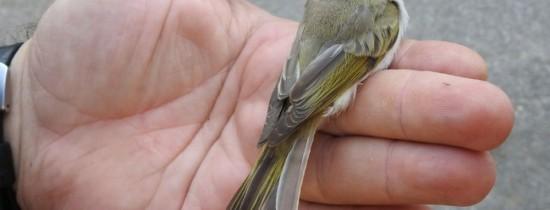 O pasăre semnalată încă din 1898, detectată acum în fauna din România