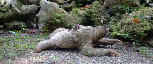 Tot ce trebuie ştiut despre leneşi, cele mai lente mamifere din lume. Contrar aparenţelor, sunt foarte bine adaptaţi şi mult mai violenţi decât se crede
