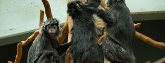 Imagini ŞOCANTE din lumea animalelor. Un grup de vidre încearcă să înece o maimuţă-VIDEO