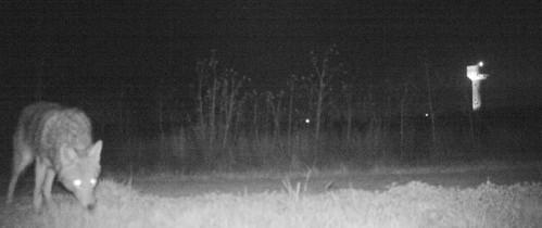Imaginile INCREDIBILE suprinse de camerele de supraveghere instalate de ofiţeri de poliţie din Kansas care voiau să surprindă un leu: ,,Am fost surprinşi''-FOTO