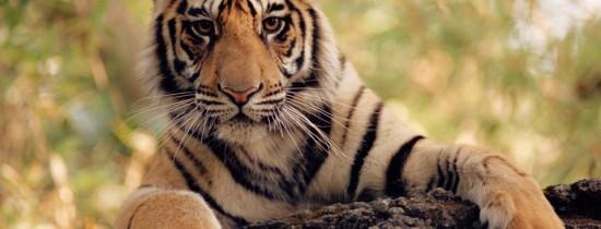 Tigrii din Asia, în pericol de dispariţie