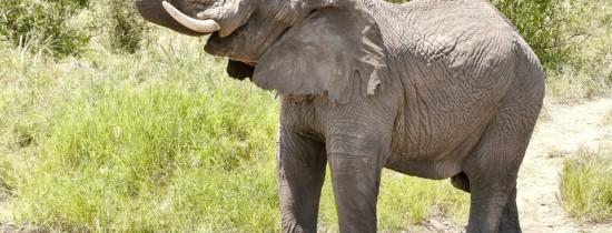 Veterinarii au reparat cu succes cornul fisurat al unui elefant african de cinci tone, în Columbia