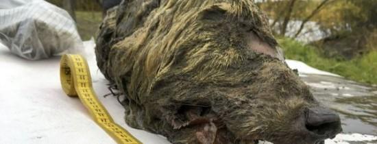 Capul perfect conservat al unui lup a fost descoperit în Siberia