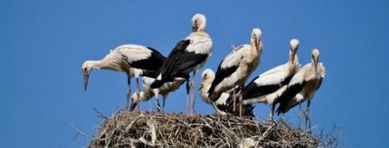 Record absolut în România: şapte pui de barză albă într-un cuib din judeţul Suceava
